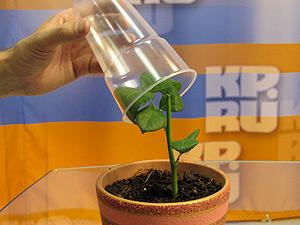 Обязательно накройте розу парничком для поддержания микроклимата. Смотрите фото-урок «Черенкование роз»