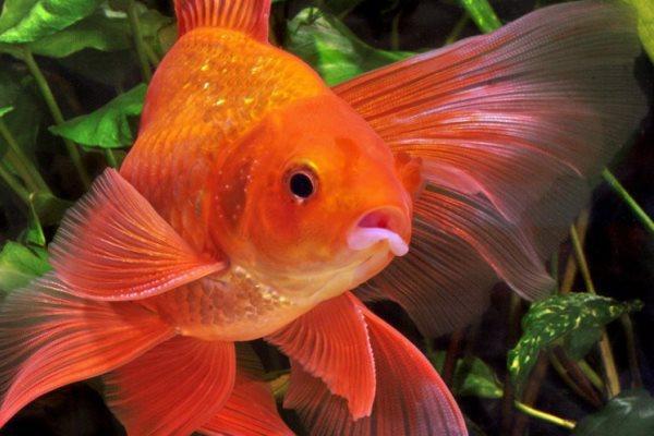 Золотая рыбка: она существует!