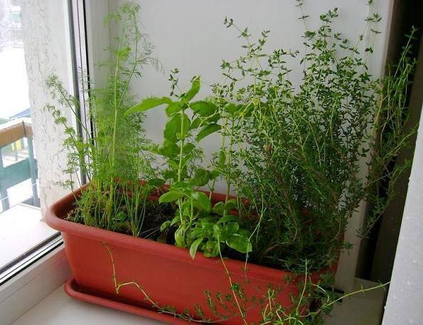 Пересадка зелени в горшок на зиму или огород на подоконнике