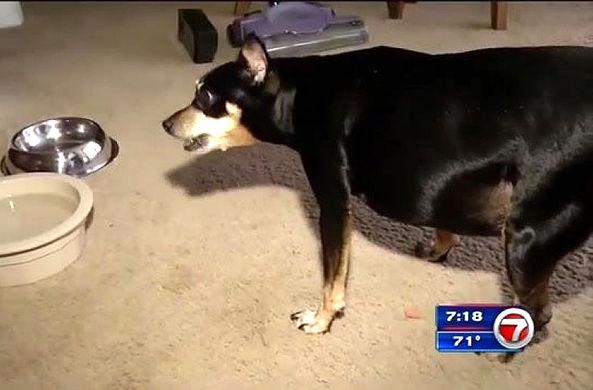 Очень толстый пес уцелел в схватке с медведем