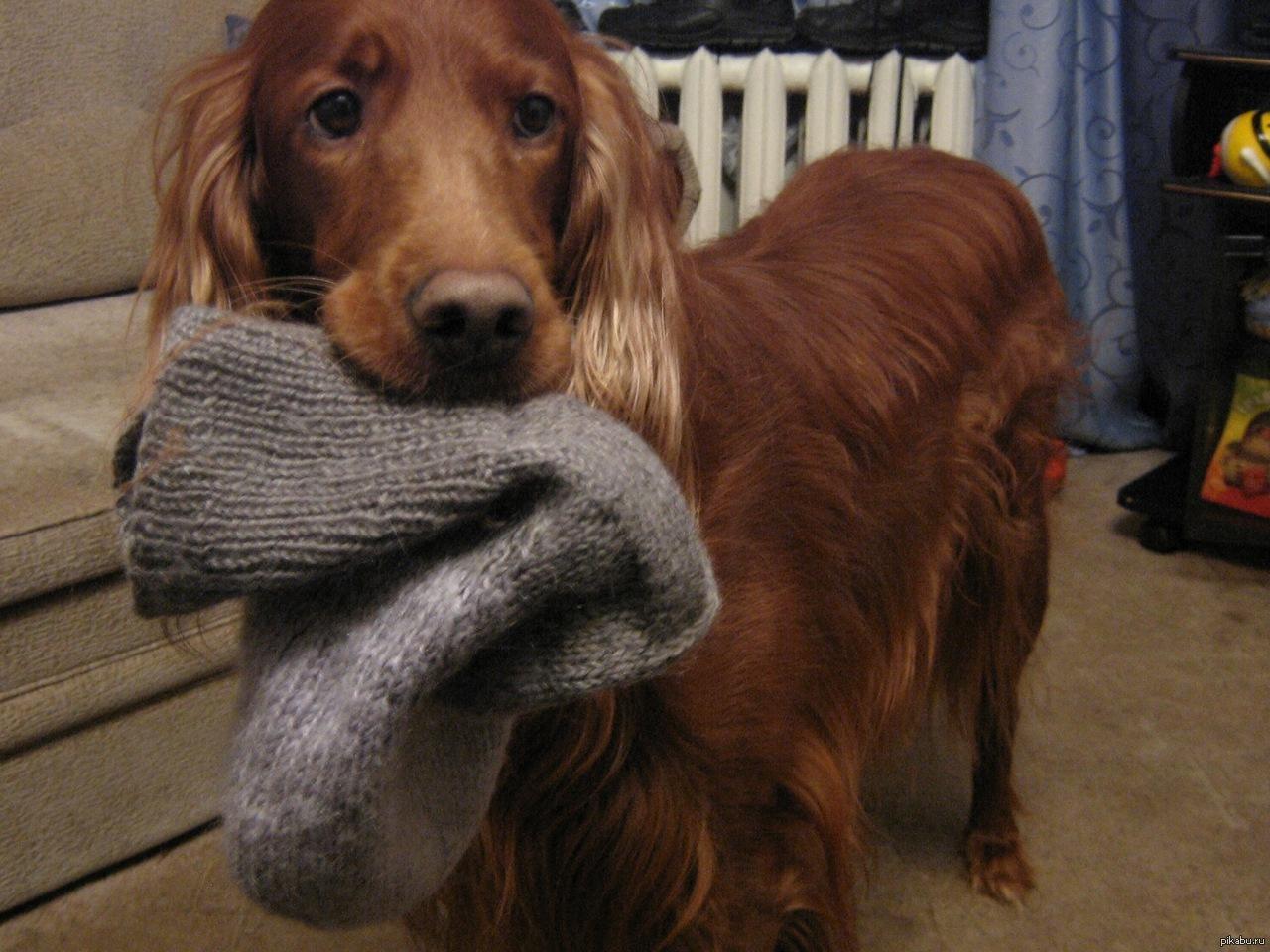 Собака ест вещи,  что делать?