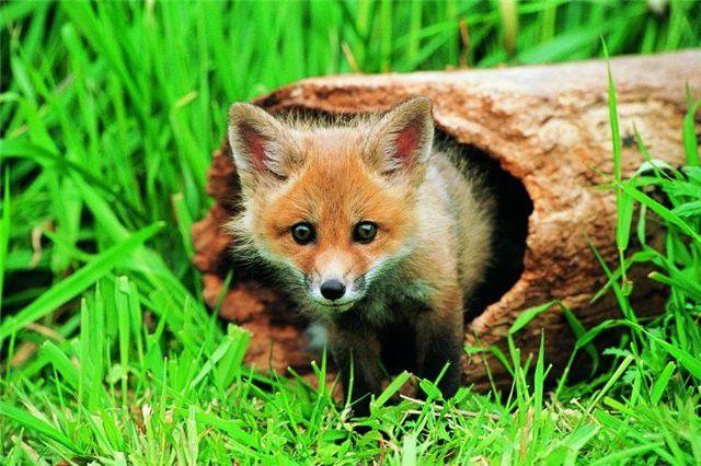 fox_20120409_00640_015 (640x426, 71Kb)