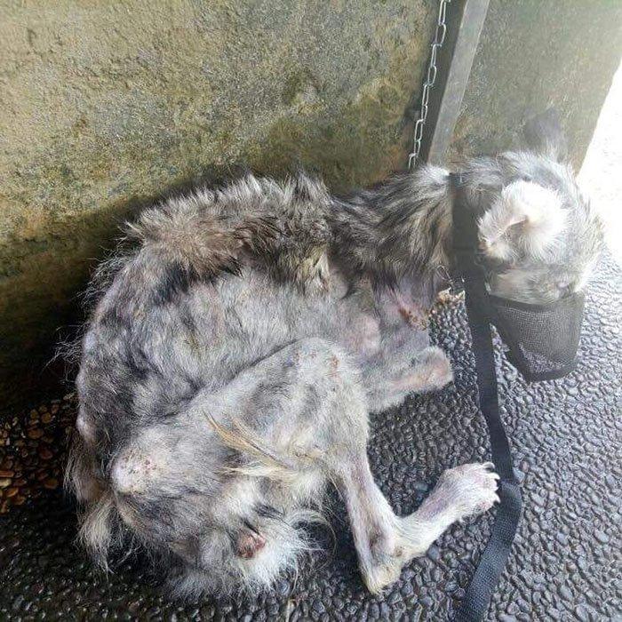Собака почти лишилась шерсти, ее кожу покрывали раны бали, животные, история, собака, спасение, фото, хаски