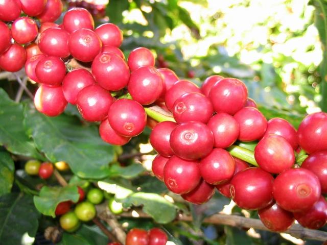 Sheffields :: Coffee, Arabian Coffee, Mountain Coffee, Arabi…