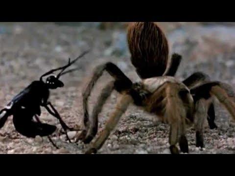 Осы-убийцы в деле. Самые эпичные битвы осы