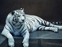 Белые тигры 34