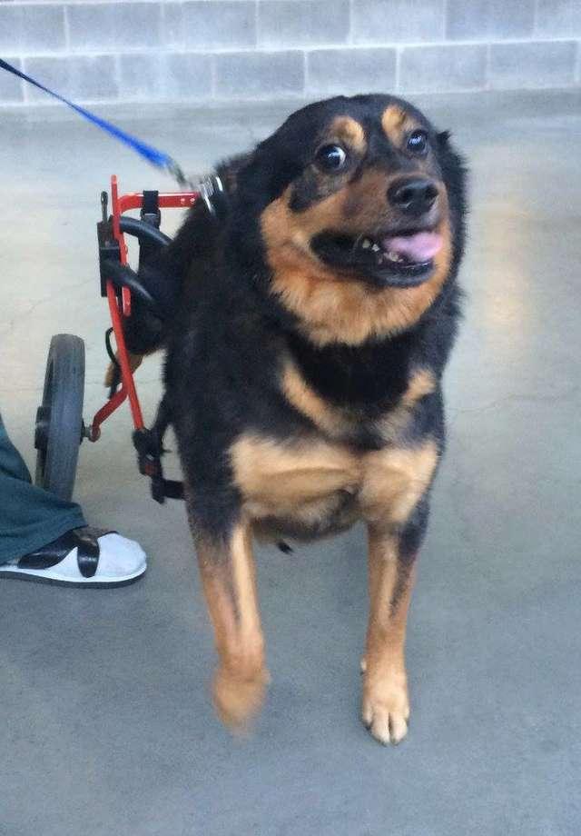 Инвалид никому не нужен! После болезни у пса парализовало заднюю часть туловища, и уже 4 года он ищет Дом