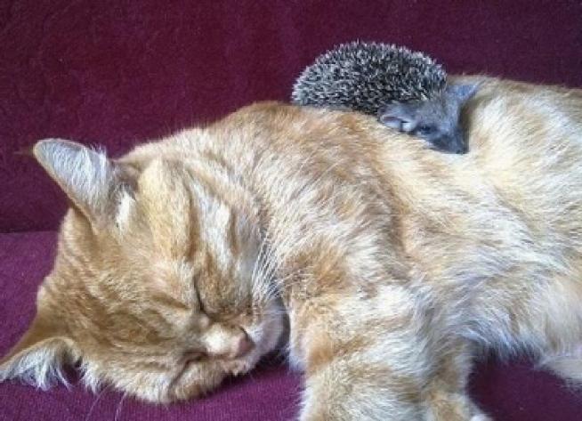 Кошка Соня — кормящая мать четырех ежиков