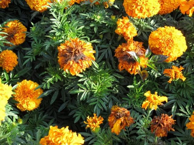 Цветы бархатцев, пораженные грибковым заболеванием