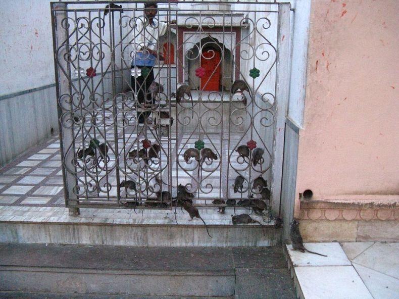 Паломничество недели: крысиный монастырь Карни Мата в Индии