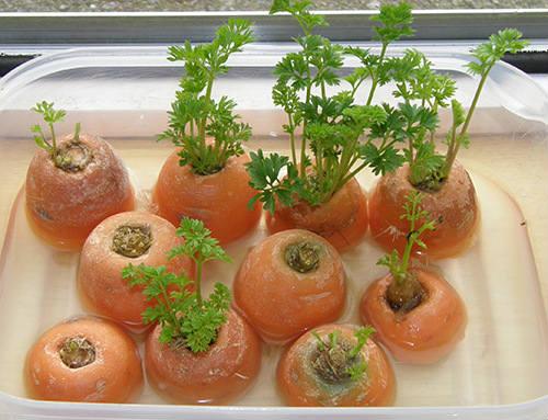 морковь на подоконнике