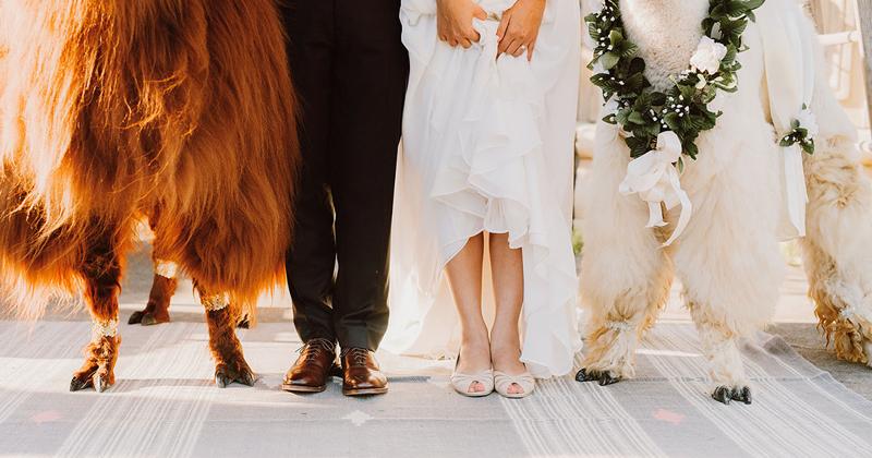 """Ламы в """"бабочках"""" - новый тренд свадебной моды"""