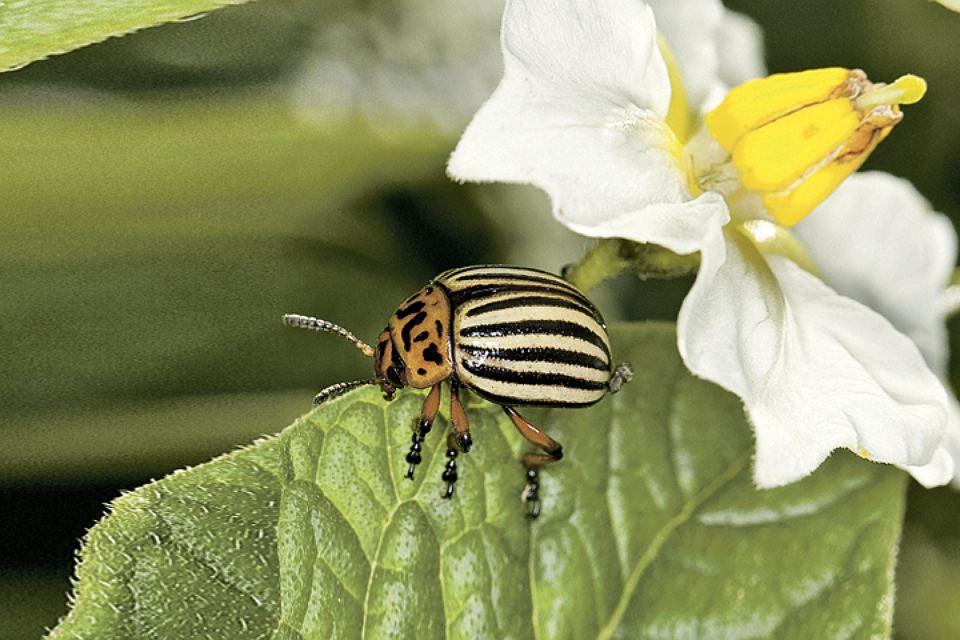 Колорадский жук: как листоед стал работать на ЦРУ
