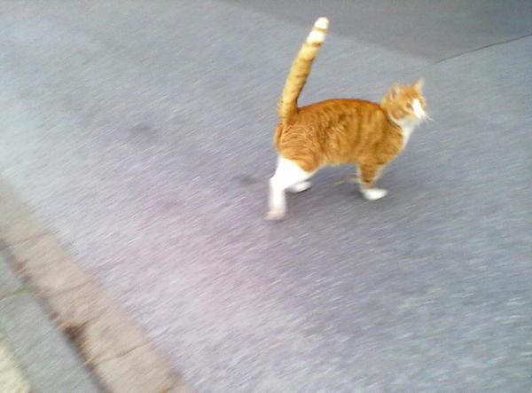 Хищник кот, охота, рыжий