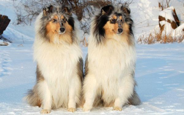 Шелти, фото породы собаки фотография картинка