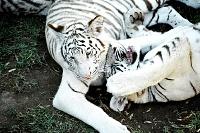 Белые тигры 38