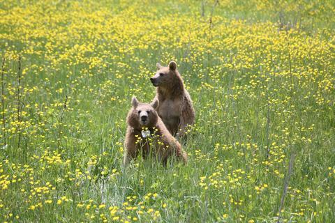 В Армении в дикую природу выпустили двух молодых спасенных медведей