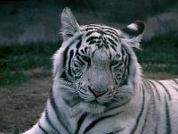 Белые тигры 9