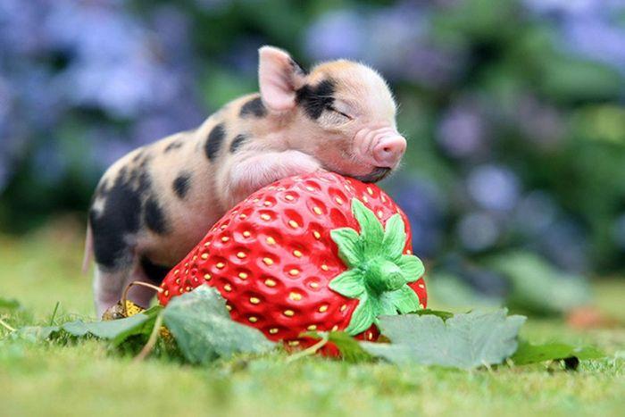 Коллекция снимков с мини-свиньями