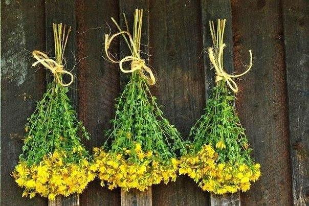 Зверобой, трава от 99 болезней