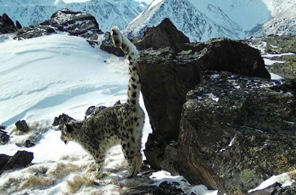 На Алтае в фотоловушку попали снежные барсы