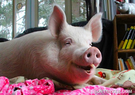 Как жители мегаполисов держат в квартирах свиней