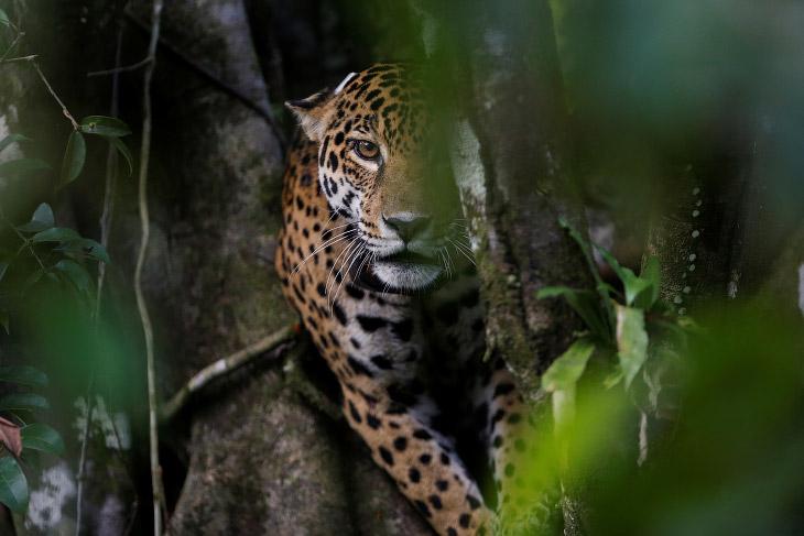 Ягуары — кошки, живущие на деревьях