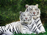 Белые тигры 7