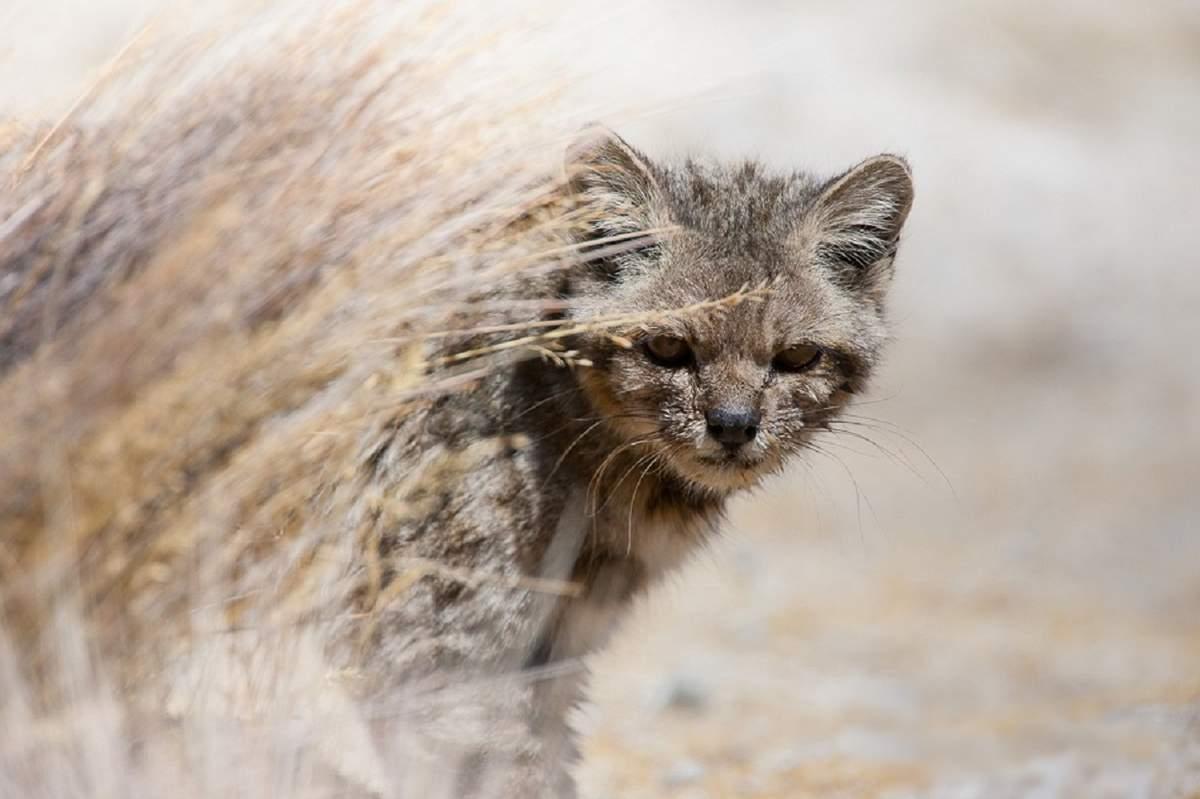 Уникум мира кошачьих, о которой мы почти ничего не знаем - андская горная кошка