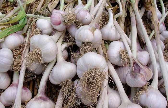 4 секрета чесночного урожая