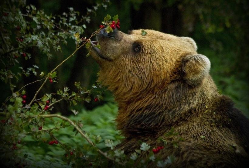Кричать и убегать бесполезно: как вести себя при встрече с медведем