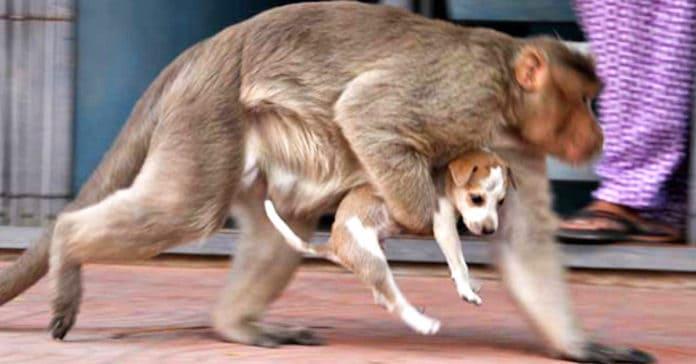 Обезьяна похищает щенка на улице и убегает. Никто не может понять причину этого поступка!