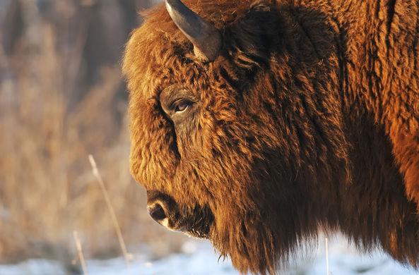 В США провели ежегодный медицинский осмотр бизонов