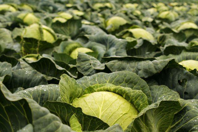 Капуста. «Лечебник» для овощных и плодовых культур