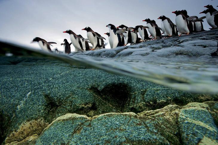 Пингвинья очередь на вход в воду