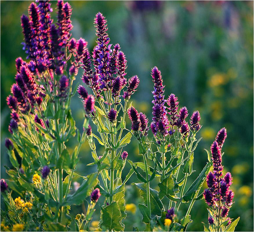 Цветок шалфей фото и описание
