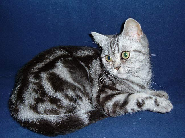 Британская кошка: где купить…