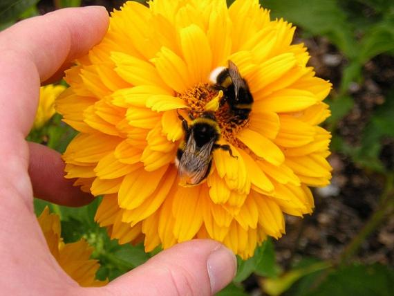 Цветок Гелиопсис. Выращивание / Садовые цветы / Цветы