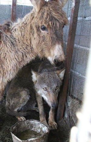 Люди хотели накормить пойманного волка и отправили к нему старого ослика. Реакция хищника поразила меня!