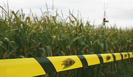 Евросоюз дал зеленый свет трансгенной кукурузе