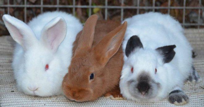 Породы кроликов - самые лучш…