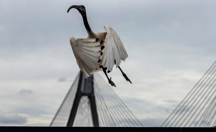 Ибисы— местные «голуби» Сиднея