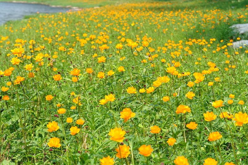 Цветы жарки фото