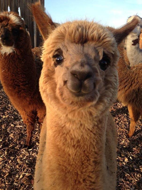Очаровательные альпаки
