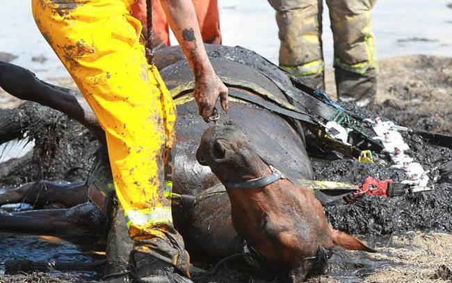 Этот конь тонул в трясине... Но то, как его хозяйка спасала своего любимца - достойно восхищения!