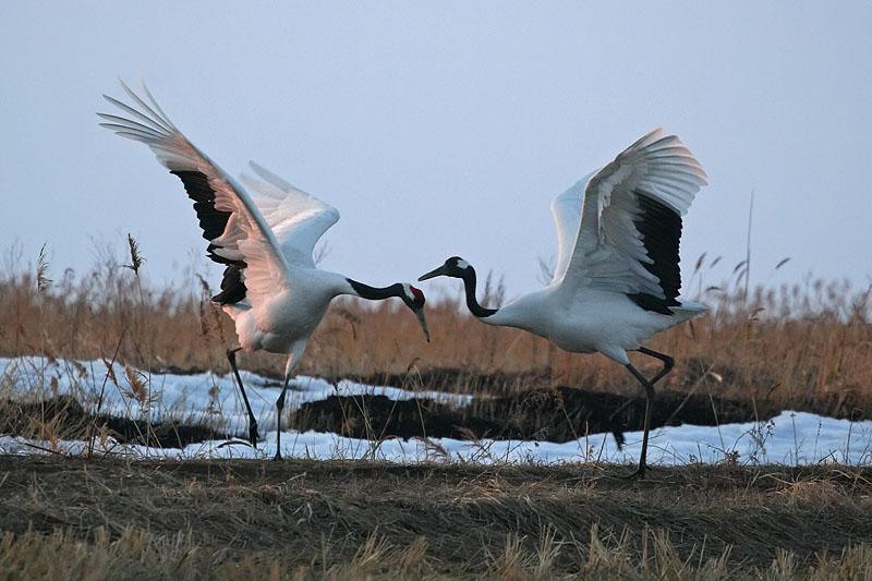 Озеро Ханка. Весенние танцы …