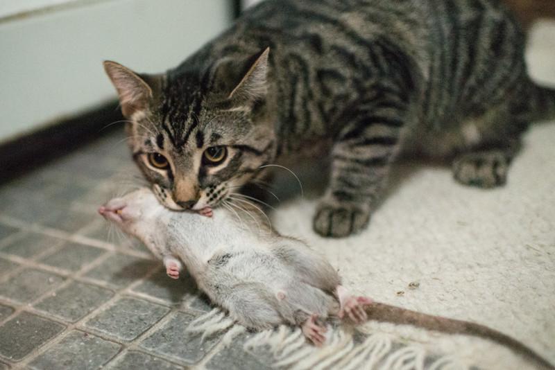 Почему кошки приносят добычу своим хозяевам
