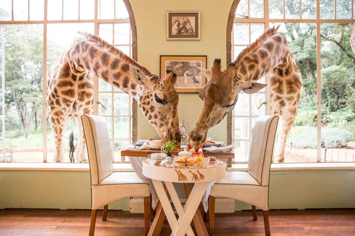 Жирафики пришли полакомиться (www.thesafaricollection.com)
