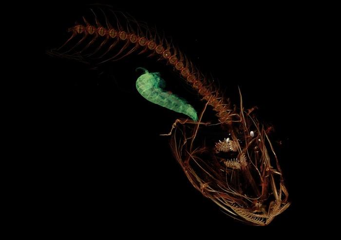 """Самая глубоководная рыба на планете: прозрачный """"Марианский липарис"""""""