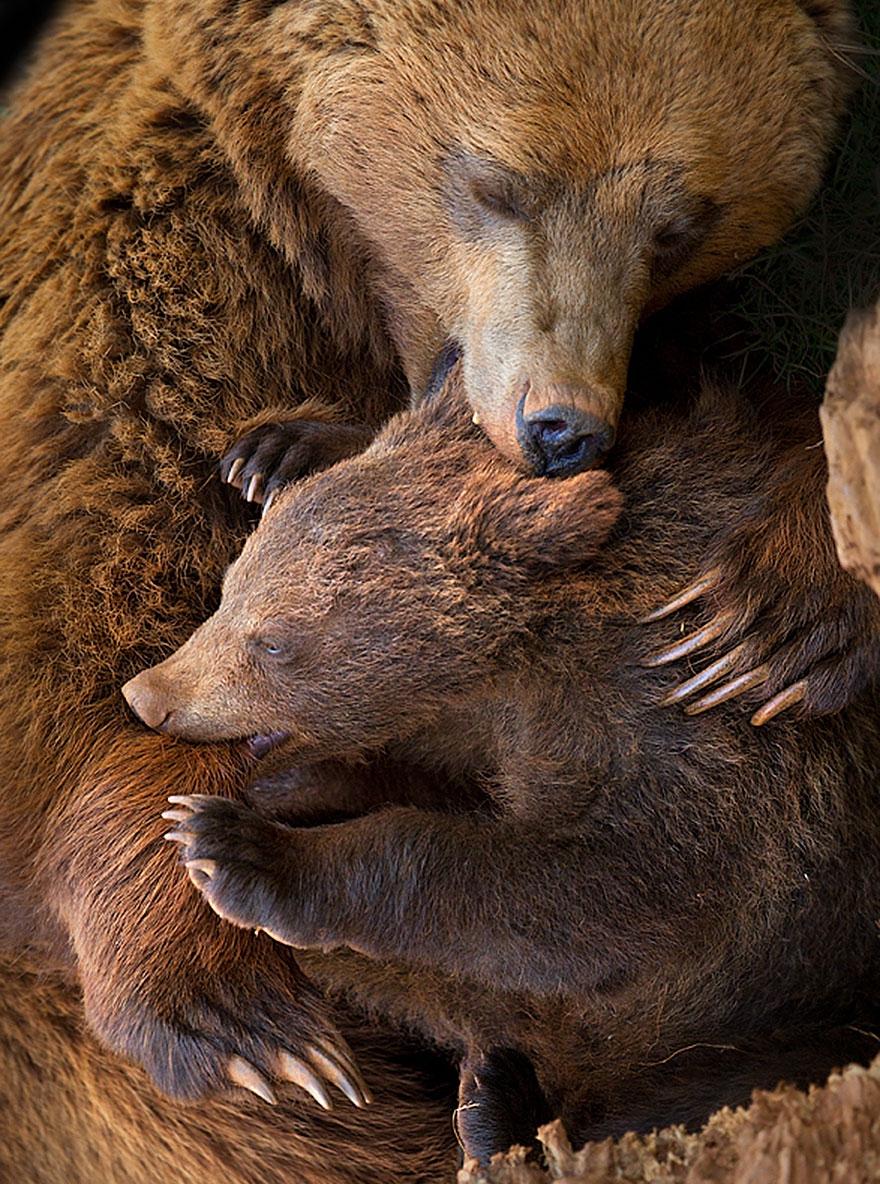 Мамы-мишки учат своих малышей жизни животные, мама, мишки, природа